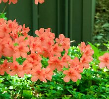 Salmon Pink Azalea Flowers by Michael Shake