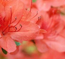 Salmon Pink Azalea Flowers by Michael Shake