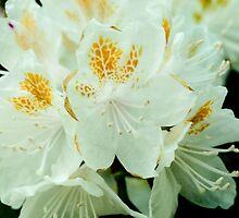 White Azalea Flowers by Michael Shake