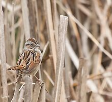 Swamp Sparrow (Melospiza georgiana) by Liam Wolff