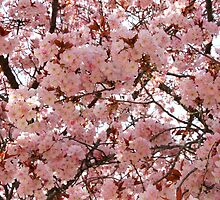 Cherry Blossoms - Seattle, Washington by Jamie Kirschner