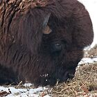 Buffalo Head by barnsis
