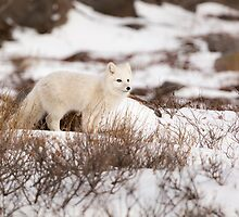 Arctic Fox Overlooking Hill by cavaroc