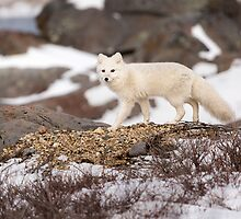 Walking Arctic Fox by cavaroc