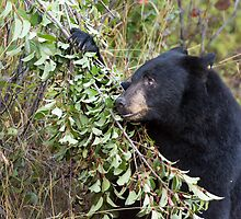 Black Bear Looking Up Branch by cavaroc
