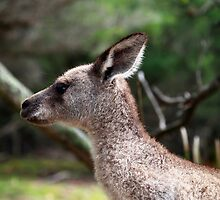 Wallaby profile by geophotographic