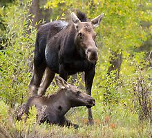 Moose Cow Protecting Calf by cavaroc