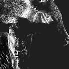 Black Cows by Heather Ward