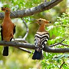 I'm King... NOT!!! - Hoopoe - South Africa by AndreaEL