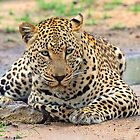 A big dominant leopard by jozi1
