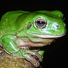Tree Frog by V1mage