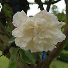 White Rose  by KirstyJSwinger