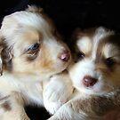 Adorable Australian Shepherd Puppies by vette