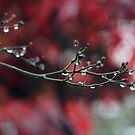 November Rain and Acer Bokeh by Astrid Ewing Photography