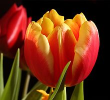Tulips by Martin Attfield