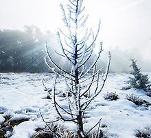 Real Snowy Christmas Tree by Jerome Obille