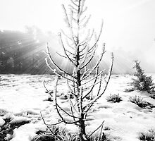 Real Christmas Tree in Black and White by Jerome Obille