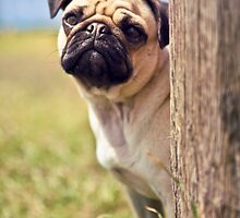 Peek A Boo Pug by lauriesbrown