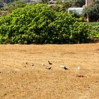 Pigeons In Fields by sgrixti