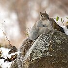 Winter Squirrel by Diana Graves Photography