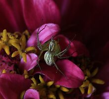 Tiny Garden Spider by Keith G. Hawley