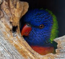 Bashful Lorikeet by rukuu