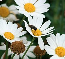 Fly Pollinating Daisy by rhamm
