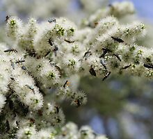 Soldier beetles on Kunzea ambigua by Shelomi Doyle