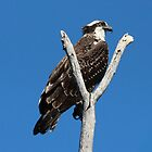 Osprey in the Y by hummingbirds