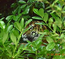 tiger in undergrowth by mustangrichard