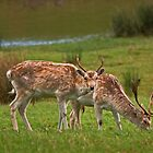 Fallow Deer by VoluntaryRanger