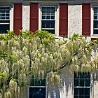 White Wisteria by cclaude