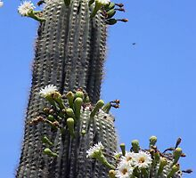 Saguaro Cactus in Bloom by Leyla Hur