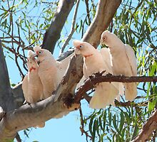 'LOOK THEY'RE AT IT AGAIN!' Long billed Corrella's in  Nhill, Vic. Australia.. by Rita Blom