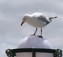 'OOPS! SLIP SLIDING AWAY!'  Seagul tries to land on lampstand. Geelong Waterfront. by Rita Blom