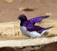 Nature Used Only The Best Paint - Violet-Backed Starling - SA by AndreaEL