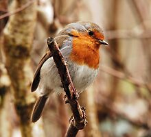 Robin on twig by stevieuk