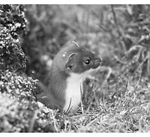 Stoat by ChrisMillsPhoto