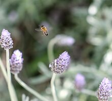 Bee In The Lavender by Matt Fricker Photography