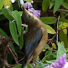 Enjoying Pollen - Eastern Spinebill by Margaret Saheed