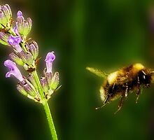 Lavender Honey Bee by Mark Kenwood