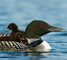 Common Loon And Chick by Loon-Images