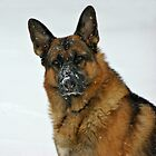 German Shepherd in the Snow by Sandy Keeton