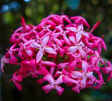 Hot Pink Tropical Cluster  by Robert Meyers-Lussier