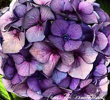 Purple Blue Hydrangea by James Toh