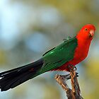 Male King Parrot. Cedar Creek, Queensland, Australia. by Ralph de Zilva