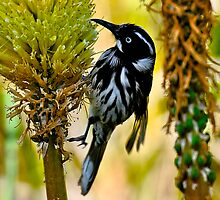 New Holland Honeyeater - II by Tom Newman