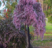Leptospermum 'Pink Cascade' by Elaine Teague