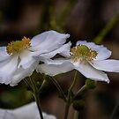 White Anemones by 29Breizh33