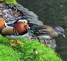 A Pair Of Mandarin Ducks by lynn carter